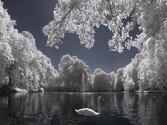 Svaner vinteren