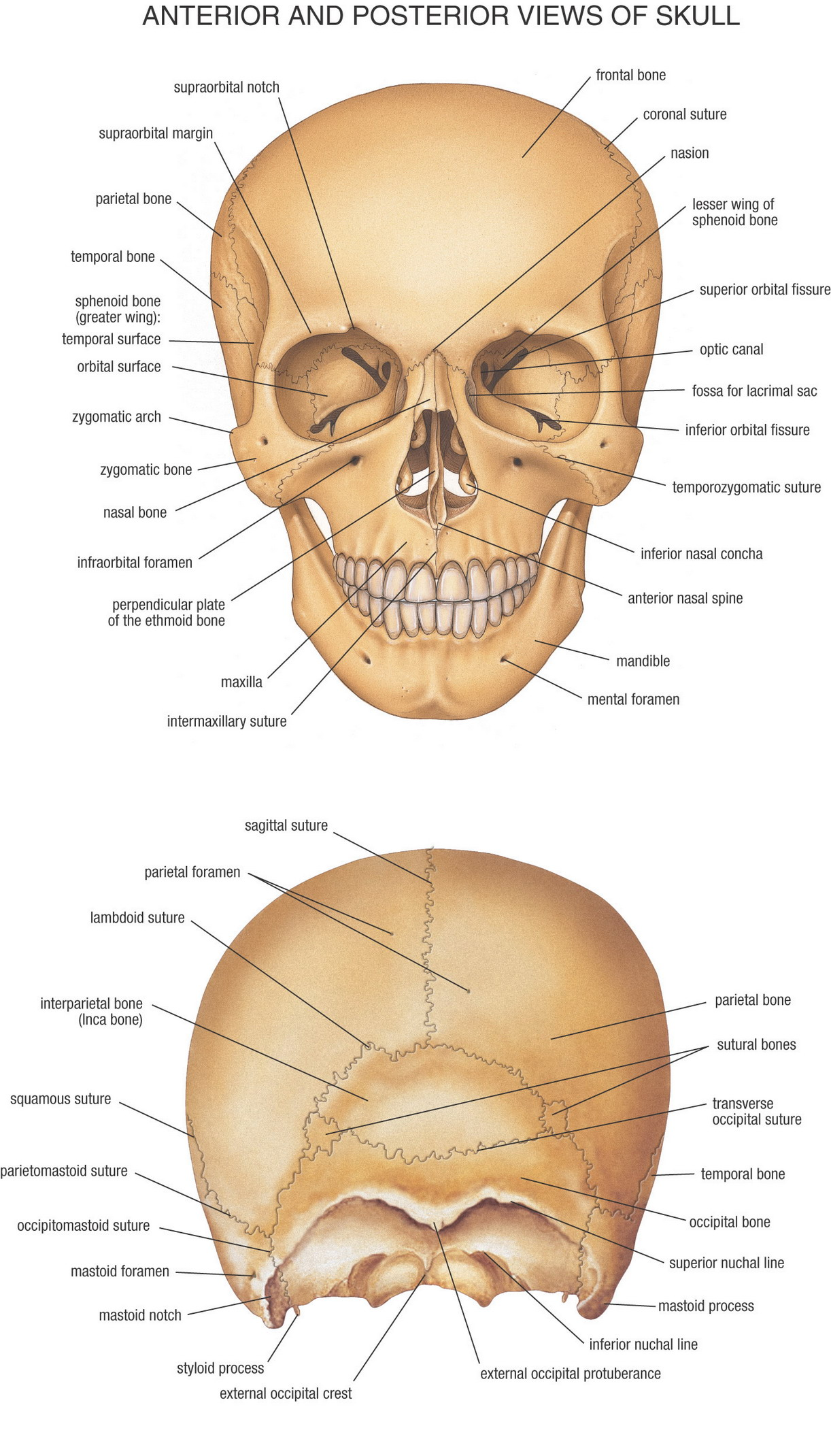 Facial Bones Anatomy Mcgraw Hill