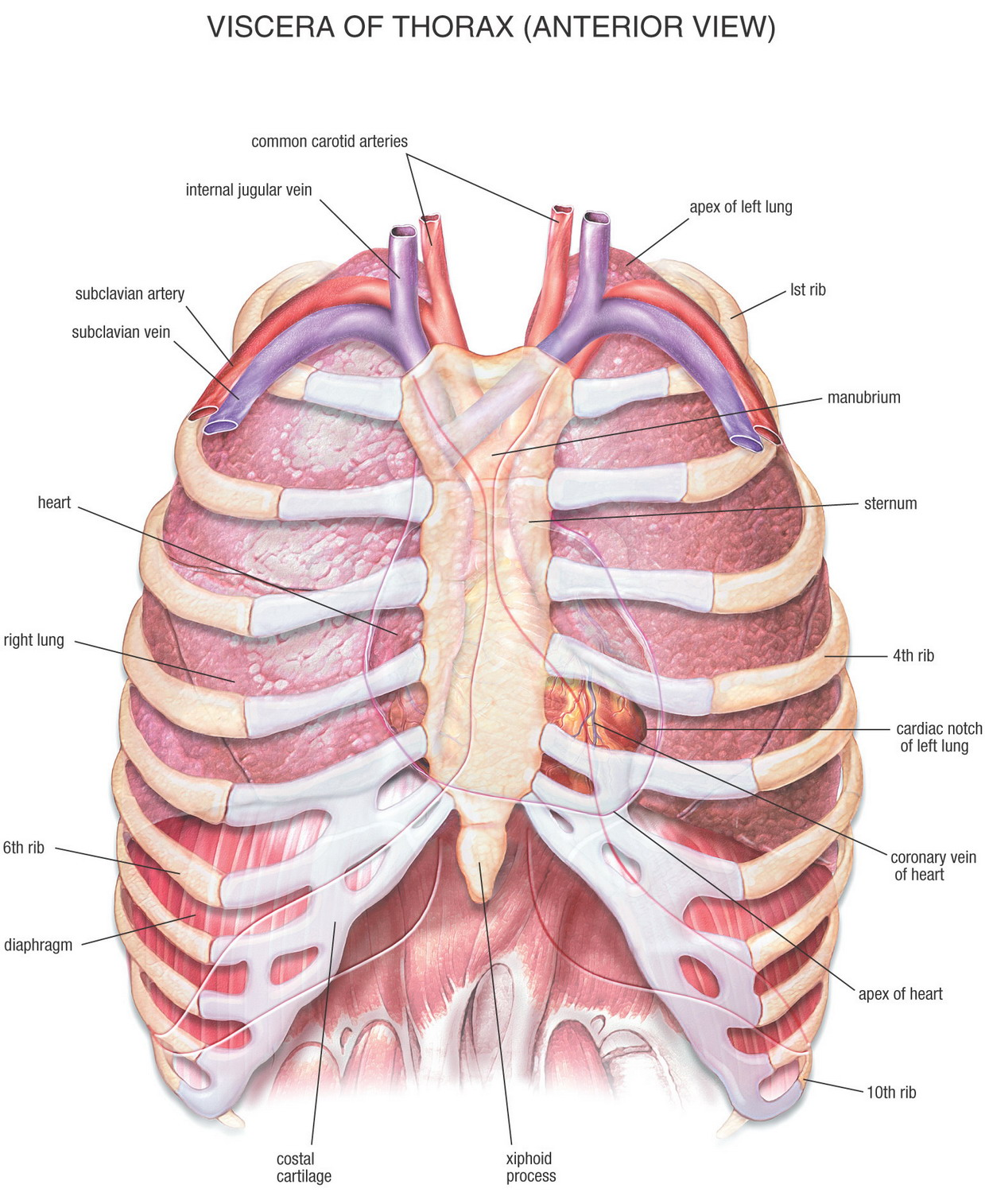 menneskets organer