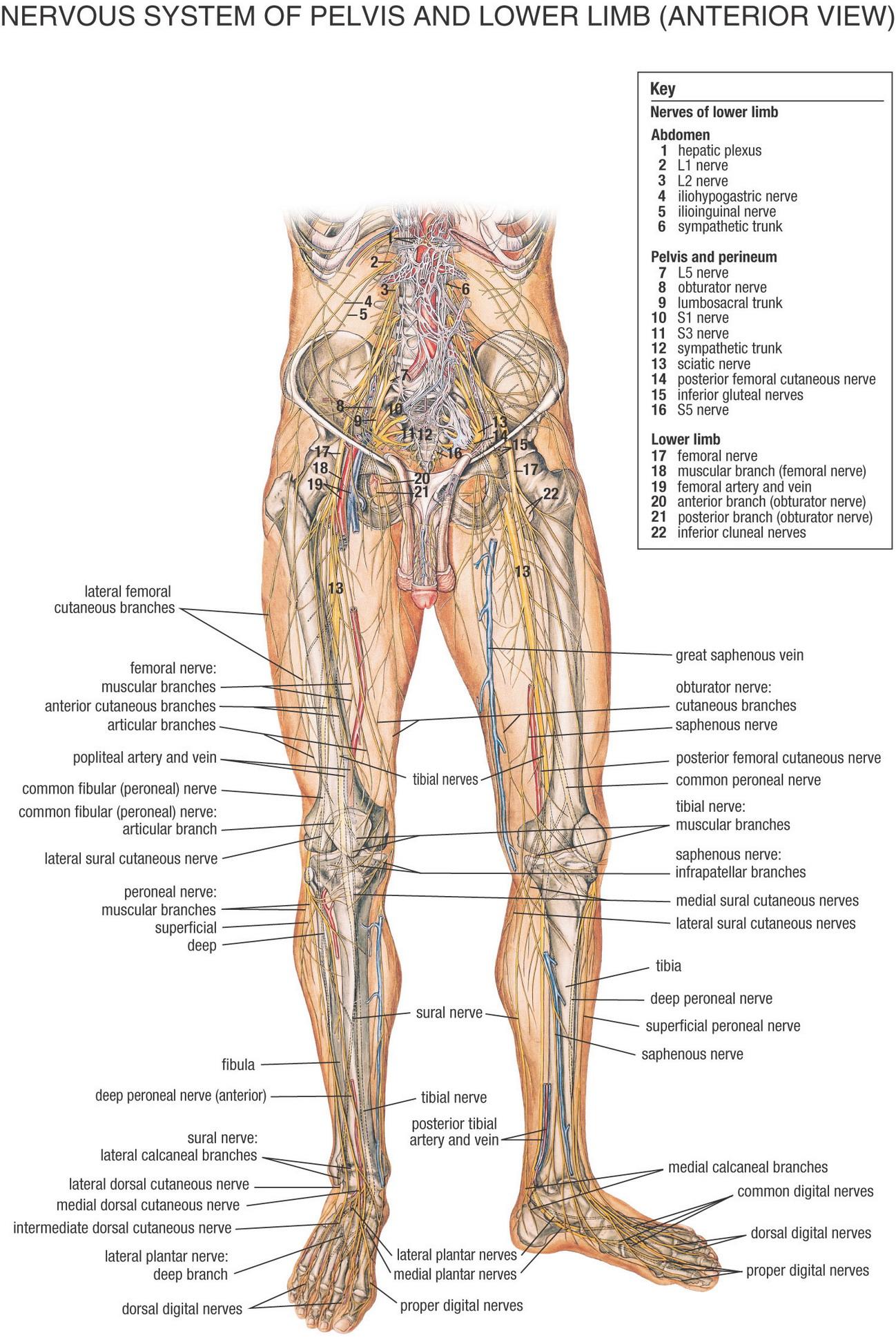 nerver i kroppen