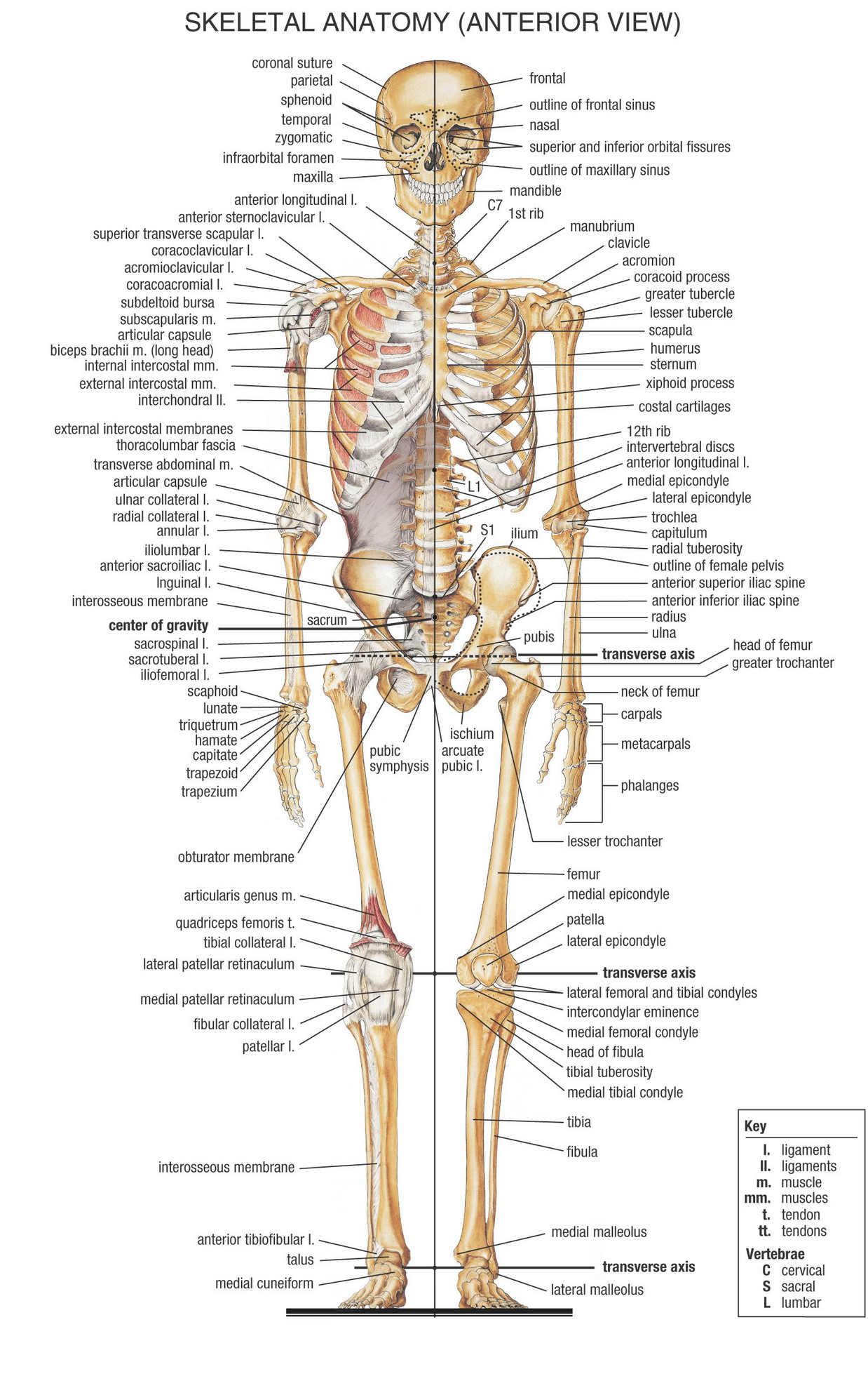 Anatomy human body bones