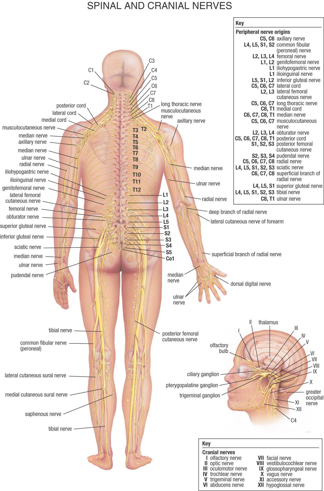 kroppens organer billeder