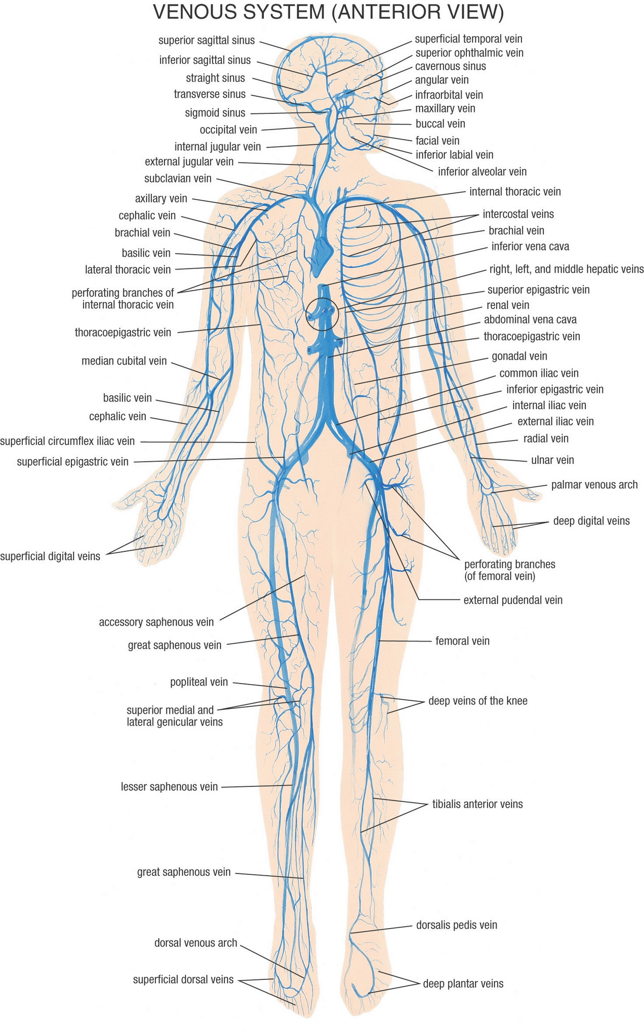 Ausgezeichnet Anatomie Der Venen Im Bein Zeitgenössisch ...