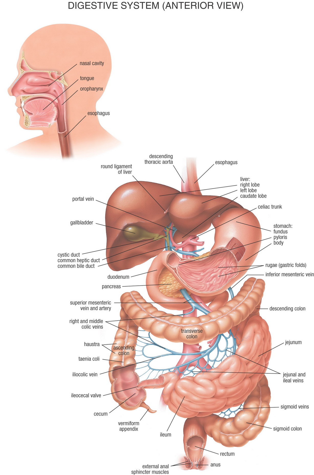 Digestive System Anterior View